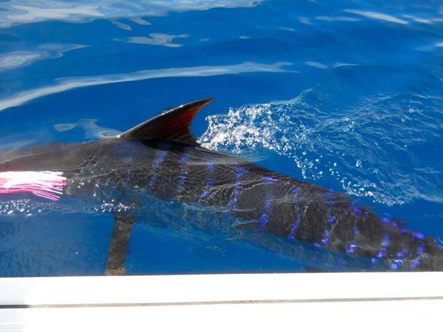 Fishing Photos, Billfish, Striped Marlin