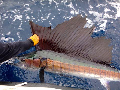 Fishing Photos, Pacific Sailfish