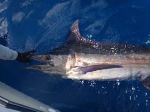 Fishing Photos, Blue Marlin