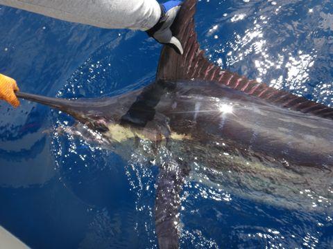 Fishing Photos, Billfish, Blue Marlin