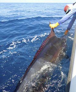 Fishing Photos, Black Marlin, Billfish