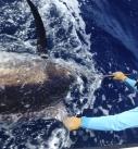 Come Fish Panama Marlin Fishing