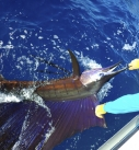 Come Fish Panama Sailfish
